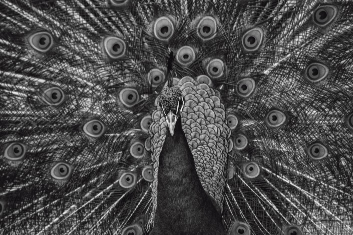 Animal Tier Tiere Tierfotografie Animalphotography Natur Nature Pfau Pfauenauge Peacock Pfauenrad