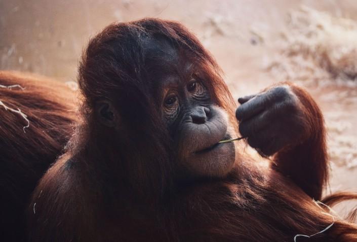 Orang-Utan Tier Tierfoto Tierportrait Tierfotografie Natur Foto Ebersberg Thomas Brand