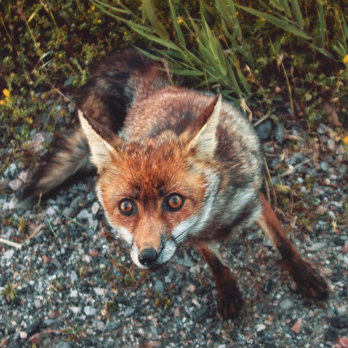 Animal Tier Tiere Tierfotografie Animalphotography Natur Nature Fuchs Fox