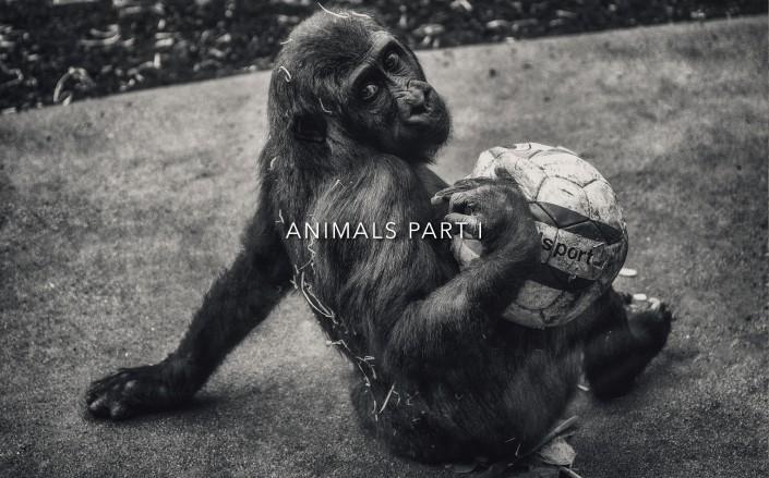 Animal Tier Tiere Tierfotografie Animalphotography Natur Nature Monkey Affe Schimpanse Gorilla